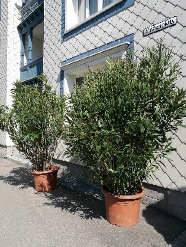 2 oleander in frastanz pflanzen kaufen und verkaufen ber private kleinanzeigen. Black Bedroom Furniture Sets. Home Design Ideas