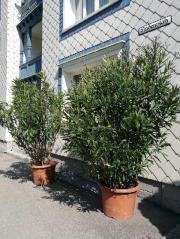 2 Oleander