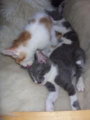 3 wunderschöne Katzenbabys