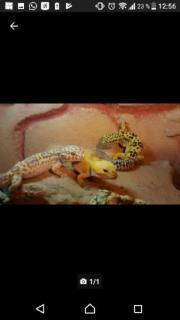 ausgewachsene Leopardengeckos