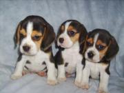 Beagle-u. MINI-