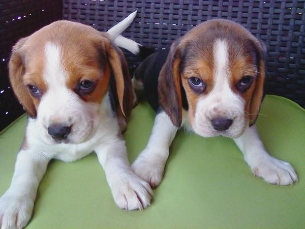 Beagle Welpen, eine » Hunde