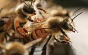 begattete Bienenköniginnen Aktion
