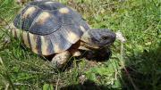 Biete Breitrandschildkrötenmännchen von