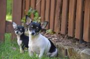 Bildschöne Chihuahua-Welpen