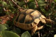 Breitrandschildkröten Testudo marginata Landschildkröten Eigene