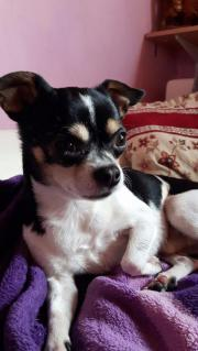 Chihuahua Deckrüde, KEIN