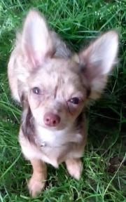 Chihuahua einjähriger Rüde