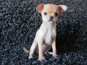 Chihuahua * Super Mini *