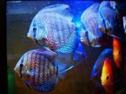 Diskusfische - Jungtiere, Stendker-