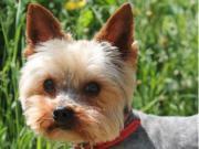DOBBIE, Yorkshire Terrier -