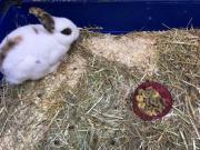 Dringen Kaninchen abzugeben!