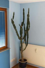 zimmerpflanze au ergew hnlich kaktus hnlich imposant top. Black Bedroom Furniture Sets. Home Design Ideas