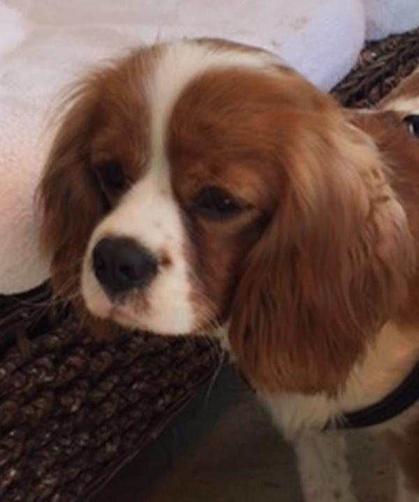 Familienhund: Cavalier King Charles Spaniel Oscar ist einfach ein Schatz - Friolzheim - Cavalier King Charles SpanielerwachsenFamilienhund: Cavalier King Charles Spaniel Oscar ist einfach ein SchatzOscar hatte schon viel Pech im Leben. In seiner 1. Familie wurde er wegen Allergie wieder abgegeben und in seiner 2. Familie hat das - Friolzheim