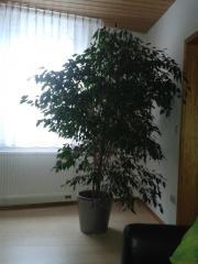 Ficus Benjamini sehr