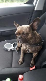 Französische Bulldoge