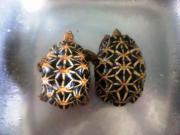 Geochelone elegans, Sternschildkröten