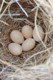 Gouldamadinen Eier