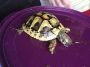 griechische Landschildkröten 1