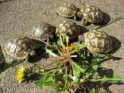 Griechische Landschildkröten NZ 2017