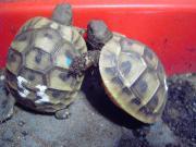Griechische Landschildkröten robuste