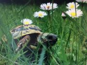 Griechische Landschildkröten, (THB),