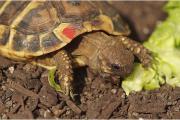 Griechische Landschildkröten Thb adulte Tiere