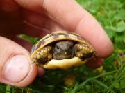 Griechische Landschildkrötennachzuchten von
