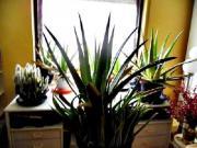 Große echte Aloe
