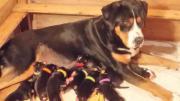 Grosse Schweizer Sennenhund