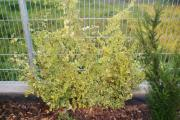 Großer Stock Efeu wintergrün optimal