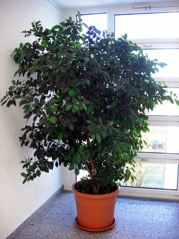 gro pflanzen b ropflanzen yucca benjamini palmen f r b ro wintergarten hohe r ume xxl. Black Bedroom Furniture Sets. Home Design Ideas