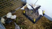 Hühnerkücken