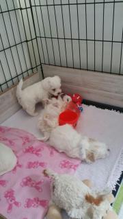 Hundewelben malteser
