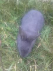 junge blaue Wiener