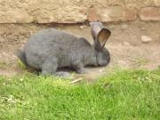 Kaninchen, Deutscher Riese,