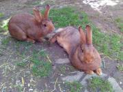 Kaninchen weiblich