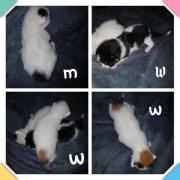 Katzenbabys Kitten türkisch