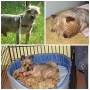KIKO, Yorkshire Terrier -