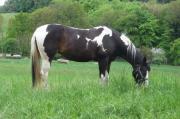 Kleine Paint Horse