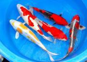 Koi - Teichfische - Biotopfische -Muscheln - Krebse
