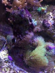 Koralle Korallenableger Salzwasser