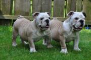 Kräftige Engl. Bulldoggen