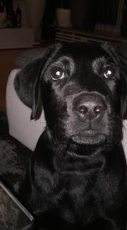 Labrador Schwarz Reinrassig