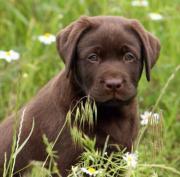 Labrador Welpe, Labrador,