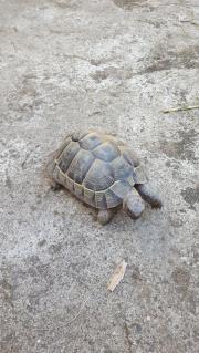 Landschildkröte, männlich, Nachzucht