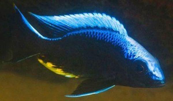 malawi aulonocara kandeensis kande wfnz und dnz in beilstein fische aquaristik kaufen und. Black Bedroom Furniture Sets. Home Design Ideas