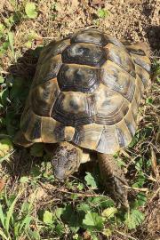 Maurische Landschildkröte, männlich,