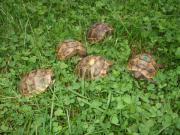 Maurische Landschildkröten-Eigene