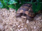 Maurische Landschildkröten, NZ